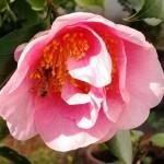 il dolce lavorio delle api nel nostro cortile